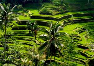 4.-Tegalalang-Rice-Terraces